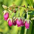 Lyonia lucida (Fetterbush) (8231266551).jpg