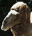 Müde wirkendes Dromedar Zoo Landau Juni 2011.JPG