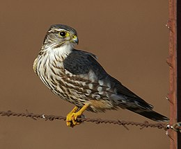 MERLIN (12-31-05) carrizo plain, slo co, ca (543206273).jpg