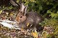 MK04608 Snowshoe Hare (Banff).jpg