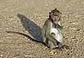 Macaca fascicularis Ao Nang 5.jpg