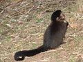 Macaco prego Manduri 060811 REFON 21.JPG