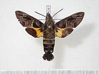 Macroglossum wackenheimi paratype (Indonesia, Sulawesi, Puncak Palopo, BoLD BC-Hax4041) male upperside.jpg