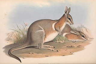Crescent nail-tail wallaby Extinct species of marsupial
