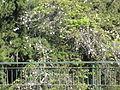 Madeira em Abril de 2011 IMG 1795 (5663657659).jpg