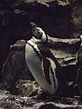 Magellanic Penguin (Spheniscus magellanicus) - GRB.JPG