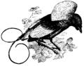 Magnificent Bird of Paradise Mivart.png