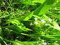 Maianthemum trifolium 3 (5097929860).jpg