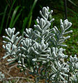 Maireana sedifolia 2.jpg