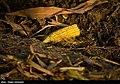 Maize Iran 29.jpg