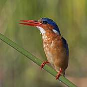 Malachite kingfisher (Corythornis cristatus cristatus).jpg