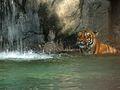 Malayan Tiger -b.jpg