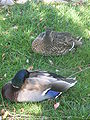 Male & female mallard in Redwood City 1.JPG