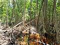 Malpighiales - Rhizophora mangle - 21.jpg