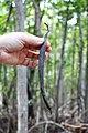Malpighiales - Rhizophora mangle - 36.jpg