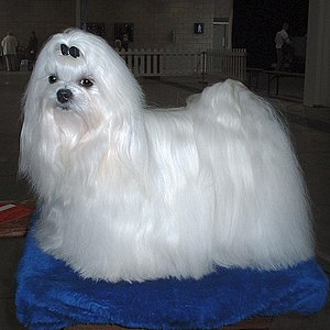 maltese dog. maltese dog in full show coat.