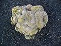 Mammillaria backebergiana ernestii 'cristata' 001.JPG