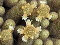 Mammillaria elongata 8.JPG