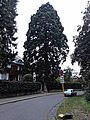 Mammutbaum (ND 620) Sequoia gigantea.jpg