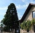 Mammutbaum - panoramio.jpg