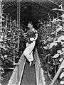 Man bezig met het afknippen van rozen in een broeikas, Bestanddeelnr 189-1057.jpg