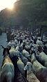 Man herding goats.jpeg