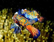 de85cbb73cd22b Мандаринка (Synchiropus splendidus) — мешканець морського акваріума