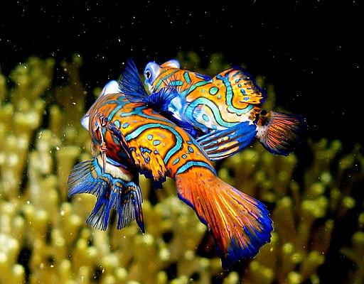 Mandarin Fish - mating