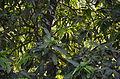 Mango Leaves - Kolkata 2011-04-01 0184.JPG