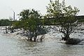 Mangroves - Riverbank Ichamati - Taki - North 24 Parganas 2015-01-13 4460.JPG