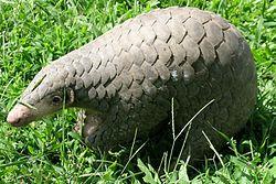 Manis pentadactyla (29054818144).jpg