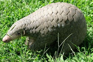 Chinese pangolin Species of mammal
