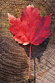 Maple Leaf Red Rings 2000px.jpg