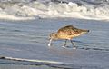Marbled godwit, Limosa fedoa, Moss Landing (Elkhorn Slough and beach), California, USA. (25305590979).jpg