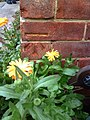 Marigolds and a benchmark at ^16 Saxton Road - geograph.org.uk - 2088279.jpg