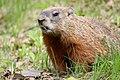 Marmota monax UL 14.jpg