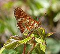 Marsh Fritillary. Euphydryas aurinia sub. sp. beckeri - Flickr - gailhampshire (5).jpg