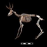 Marsh deer skeleton at MAV-USP.jpg