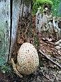 Maruszka, Puszcza Zielonka, fungi (3).jpg
