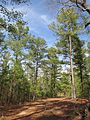 Mattaponi Wildlife Management Area loblolly plantation.jpg