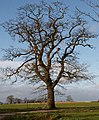 Mature tree - geograph.org.uk - 317323.jpg