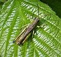 Meadow Grasshopper probably (49263442856).jpg