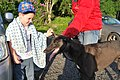 Meeting the dogs at the Valley Greyhound Stadium, Ystrad Mynach.jpg