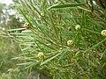 Melaleuca croxfordiae (leaves and buds).JPG