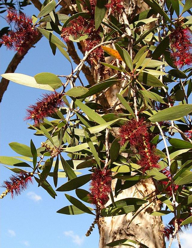 feuilles et fleurs du niaouli