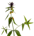 Melampyrum nemorosum20090612 139.png