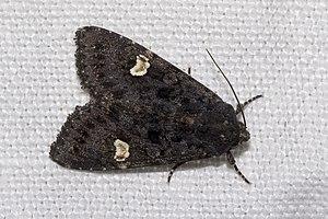 Dot moth - Image: Melanchra.persicaria e.7300