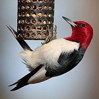 Red-headed Woodpecker (Melanerpes erythrocepha...