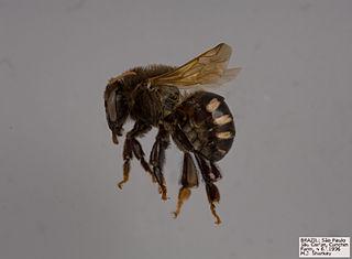 <i>Melipona beecheii</i> species of insect