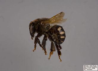 Melipona scutellaris - Melipona genus